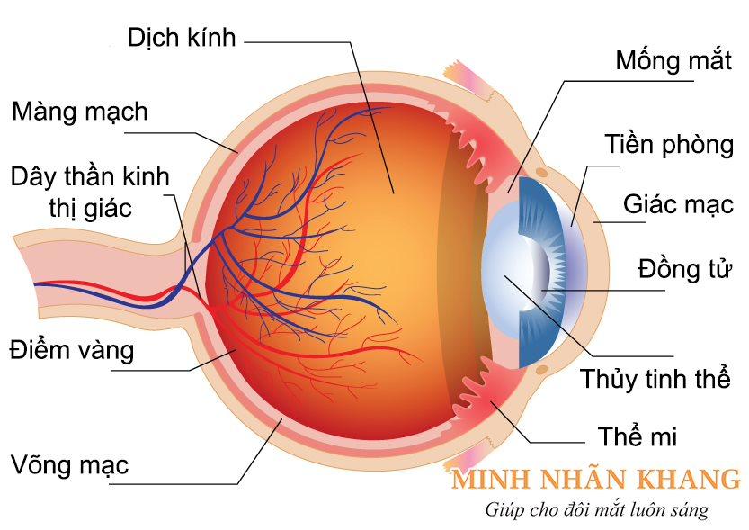 Các bộ phận của mắt